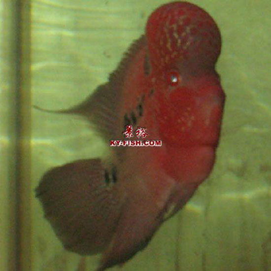 how to breed flowerhorn fish at home